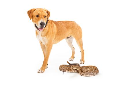 serpiente de cascabel: Labrador amarillo perro caminando hacia adelante y mirando hacia abajo a una serpiente de cascabel peligrosas Foto de archivo