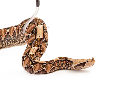 hook up: Bitis gabonica, known as a Gaboon Viper Snake which is commonly found in Africa being picked up with a hook by a trained handler
