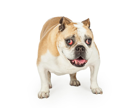 attentive: Happy and attentive elderly Bulldog standing while looking directly into the camera.  Dogs mouth is open.