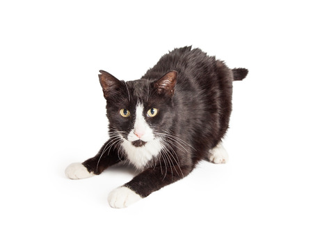 shorthair: Playful black and white domestic Shorthair Mixed Breed Cat laying with outstretched paws. Stock Photo