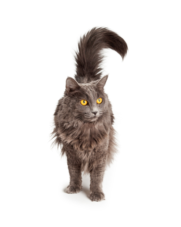 longhair: Pretty long hair domestic cat with yellow eyes standing on white background Stock Photo
