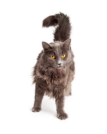 longhair: Pretty grey domestic longhair cat with yellow eyes walking forward