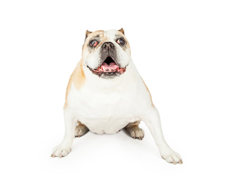 A senior bulldog breed dog with red eyes and vision problems