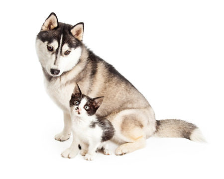 Siberian Husky Dog sitting and looking down at an adorable little black and white kitten