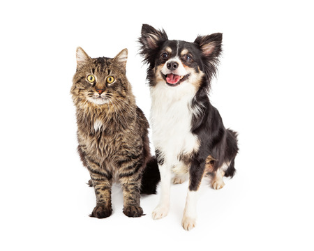 A cute domestic medium hair tabby cat sitting next to a happy longhair Chihuahua mixed breed dog.