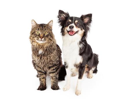 short hair dog: A cute domestic medium hair tabby cat sitting next to a happy longhair Chihuahua mixed breed dog.