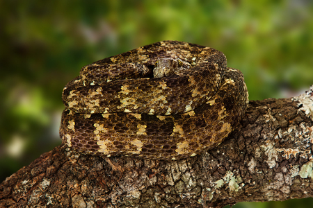 Speckled forest pitviper, also known as Bothriopsis taeniata, a venomous snake mainly found in the forests of South America