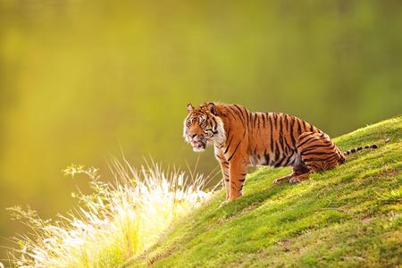 밖으로 흐리게 숲 배경으로 언덕의 녹색 잔디에 앉아 아름 다운 수마트라 호랑이