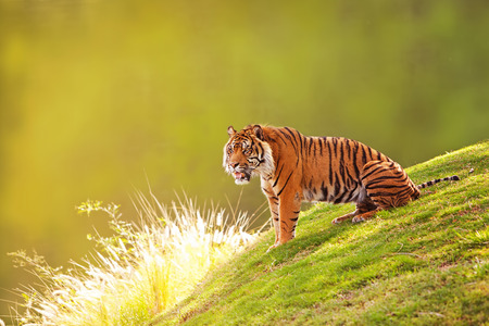 sumatran tiger: Beautiful Sumatran Tiger sitting on the green grass of a hill with a blurred out forest background
