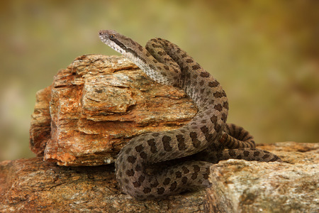 lethal: Crotalus pricei, also known as twin-spotted rattlesnake, a venomous snake found mainly in southeastern Arizona and Northern Mexico. Sitting on top of rocks.