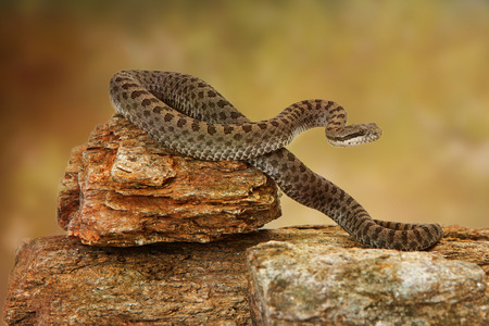 Crotalus pricei, also known as twin-spotted rattlesnake, a venomous snake found mainly in southeastern Arizona and Northern Mexico. Sitting on top of rocks on a white backdrop