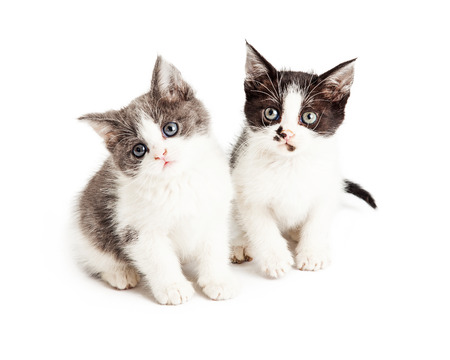 Two adorable little five week old kittens sitting together on a white background and looking forward at the camera Reklamní fotografie