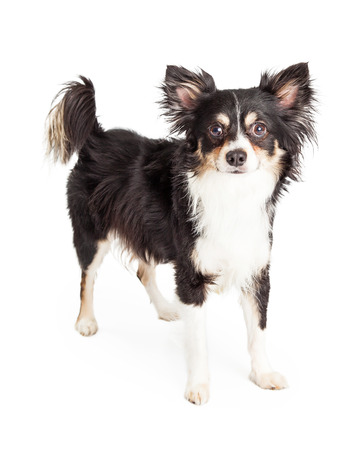 looking directly at camera: A very well trained Chihuahua Mixed Breed Dog standing while looking directly into the camera.