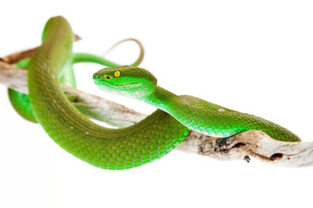 Green color White-lipped Pit Viper, also known as Cryptelytrops albolabris, a venomous tree snake found mainly in southeast Asia photo
