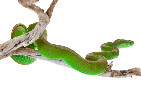 reptilia: Green color White-lipped Pit Viper, also known as Cryptelytrops albolabris, a venomous tree snake found mainly in southeast Asia Stock Photo