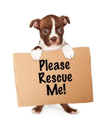 adopt: seven week old Boston Terrier puppy