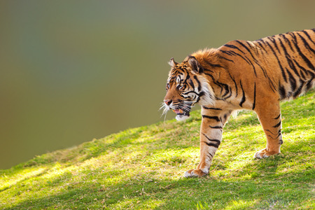 sumatran: Large Sumatran tiger walking down a hill into the camera frame Stock Photo