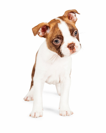 tilting: Cute seven week old Boston Terrier puppy standing and tilting his head to the side Stock Photo