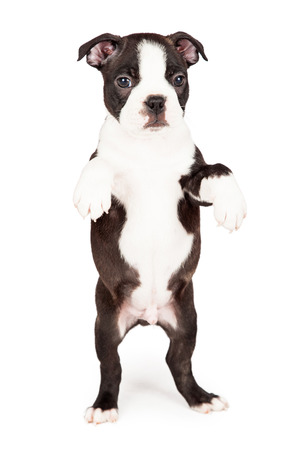 Cute seven week old Boston Terrier puppy dog standing up on hind legs begging. Place your product in his paws.