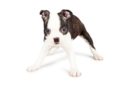 spread legs: A cute little seven week old Boston Terrier puppy standing with his legs spread apart. Place your product between them. Stock Photo