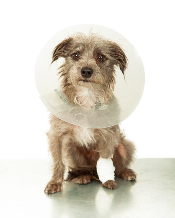 A cute little mixed breed dog with an injured leg wearing a plastic cone white sitting on an emergency veterinary clinic table 写真素材