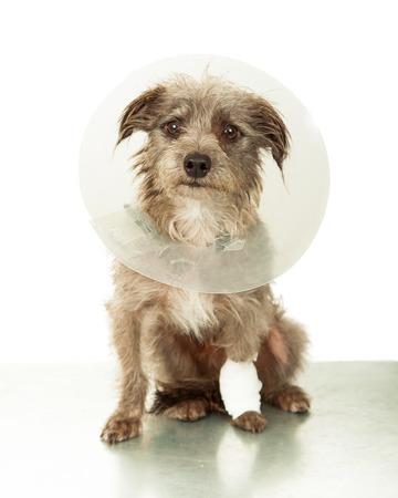 plastico pet: Un pequeño perro de raza mixta lindo con una pierna lesionada llevaba un cono de plástico blanco que se sienta en una mesa de la clínica veterinaria de emergencia