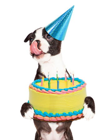 funny boston terrier: Cute little Boston Terrier puppy with tongue out licking lips and carrying a birthday cake with lit candles.