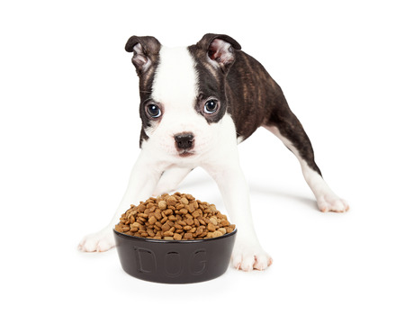 spread legs: A cute little seven week old Boston Terrier puppy standing over a heaping bowl of dog food with his legs spread apart.