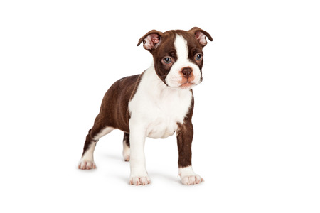 boston terrier: Side view of a cute little seven week old Boston Terrier puppy dog standing at an angle Stock Photo