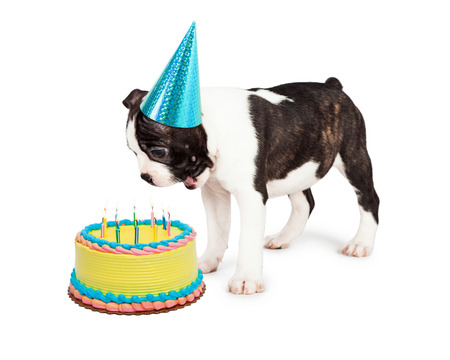 funny boston terrier: Funny Boston Terrier puppy with a happy and surprised expression looking down at a birthday cake with candles Stock Photo