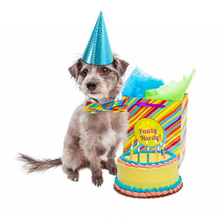 Cute little terrier dog wearing a birthday hat sitting next to a cake and gift bag