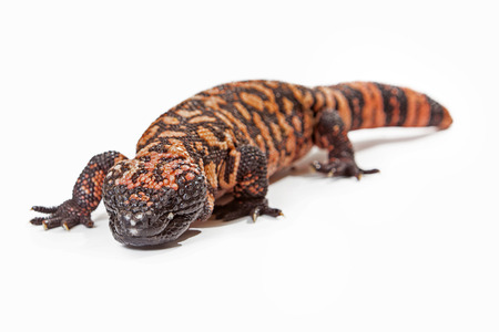 sonora: Gila Monster - A venomous lizard that lives primarily in the Mojave desert and is a protected endangered species. Subject in photo resides at the Phoenix Herpetological Society. Stock Photo