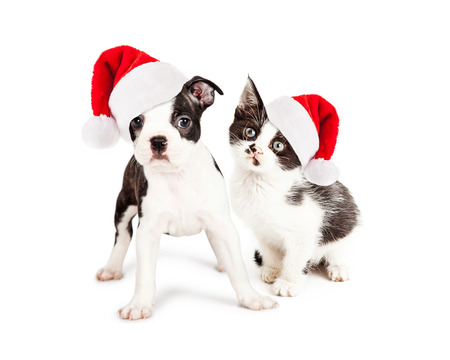 Cute little kitten and Boston Terrier puppy wearing red Christmas Santa Claus hats. Subjects looking at the camera.