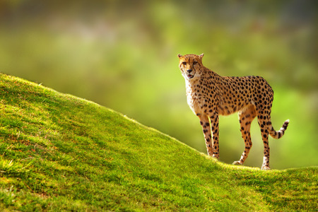 forward: Beautiful spotted Cheetah standing on a green grass hill with a blurred tree background looking forward at the camera