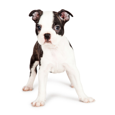 boston terrier: Cute little seven week old Boston Terrier puppy standing on a white background and looking forward at the camera Stock Photo
