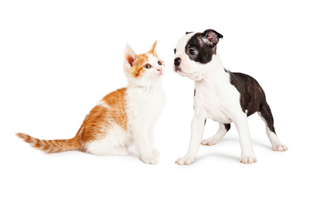 boston terrier: Cute little Boston Terrier puppy standing to the side looking at an adorable orange and white kitten. Stock Photo
