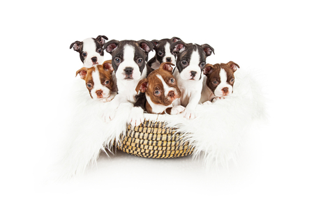 Basket of Boston Terrier Puppies.