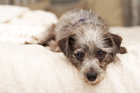 Cute little mixed terrier breed dog laying on a bed with his head hanging over the side.