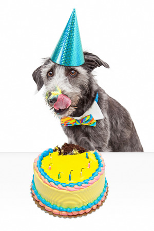 occasion: Funny photo of a messy dog eating birthday cake and licking frosting off of his face