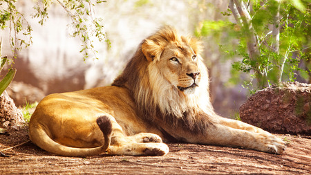 Beautiful large African Lion laying down with trees in the background