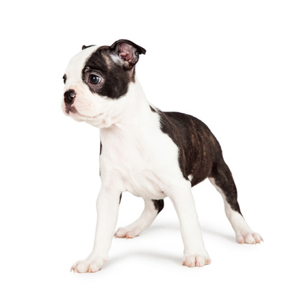 side keys: Little seven week old Boston Terrier puppy standing and looking off to the side. Isolated on white.