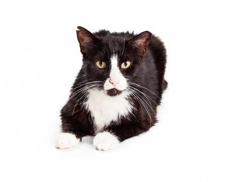 white space: A black and white cat with ear tipped to indicate that it is feral and has been sterilized.