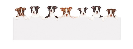 A row of seven week old Boston Terrier breed puppies hanging over a long blank banner. Isolated on white. photo