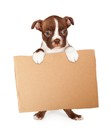 placard: Cute seven week old Boston Terrier puppy standing up and holding a blank cardboard box sign Stock Photo
