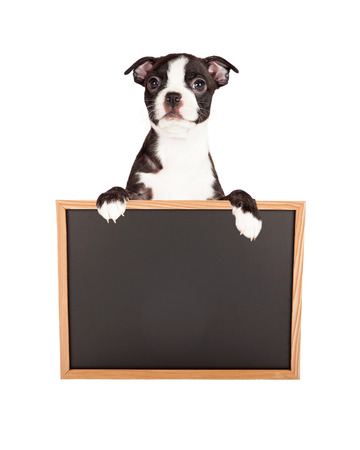 Little seven week old Boston Terrier puppy standing upi and holding a blank chalkboard sign photo