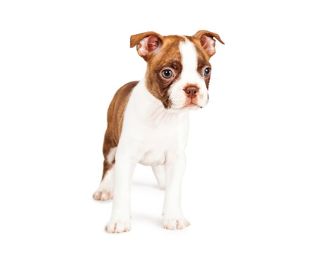 boston terrier: Adorable red color seven week old Boston Terrier puppy standing on a white background