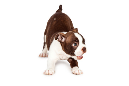 white playful: Cute and happy little seven week old Boston Terrier puppy bowing down to play