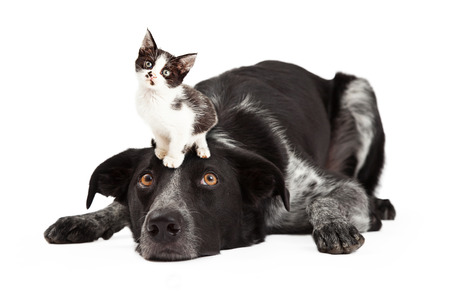 A cute black and grey color Border Collie dog laying with head down and eyes looking up at a little kitten sitting on his head Stock Photo