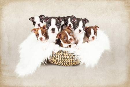 litter: Basket filled with a litter of seven week old Boston Terrier puppies that are all looking at the camera. Photo has a textured brown background.