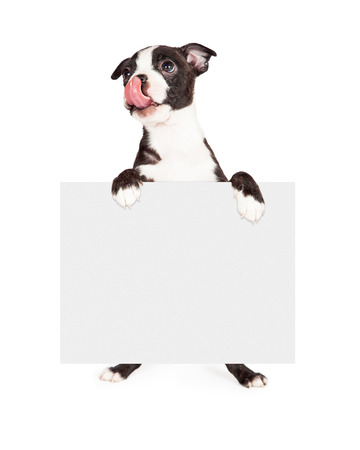 A cute seven week old Boston Terrier puppy looking up and licking his lips while holding a blank with sign photo